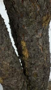 2013-03-24 Beetle Damage 2